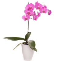 pink-orchid-plant